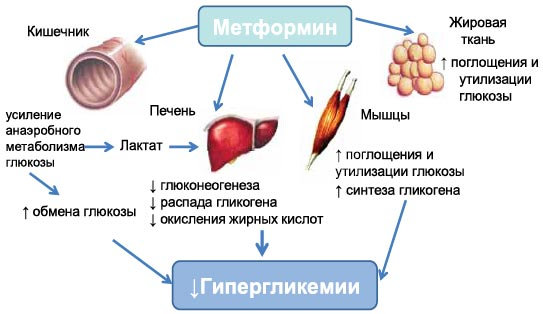Место метформина в современном лечении и профилактике сахарного ...